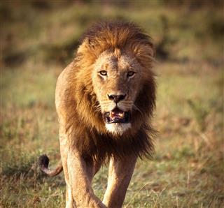 Approaching Lion