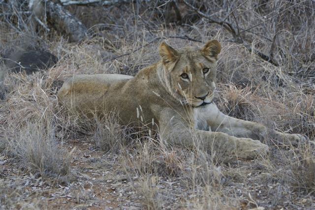 Wild Lion In Kruger National Park