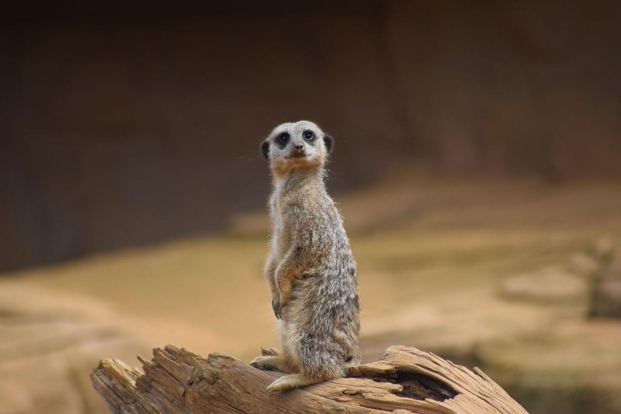 Meerkats as Pets