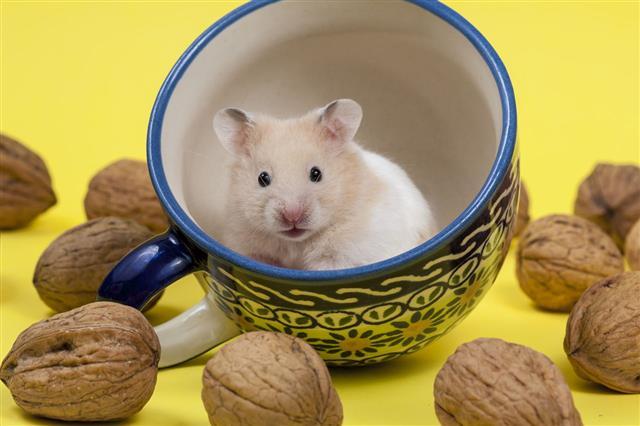 Hamster In Tea Cup