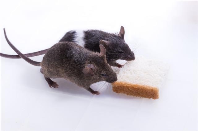 Brattleboro Rat Lab Rat