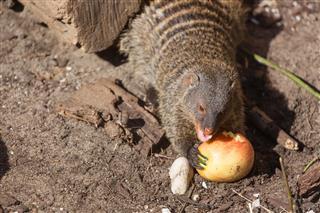 Yellow Mongoose Eating An Apple