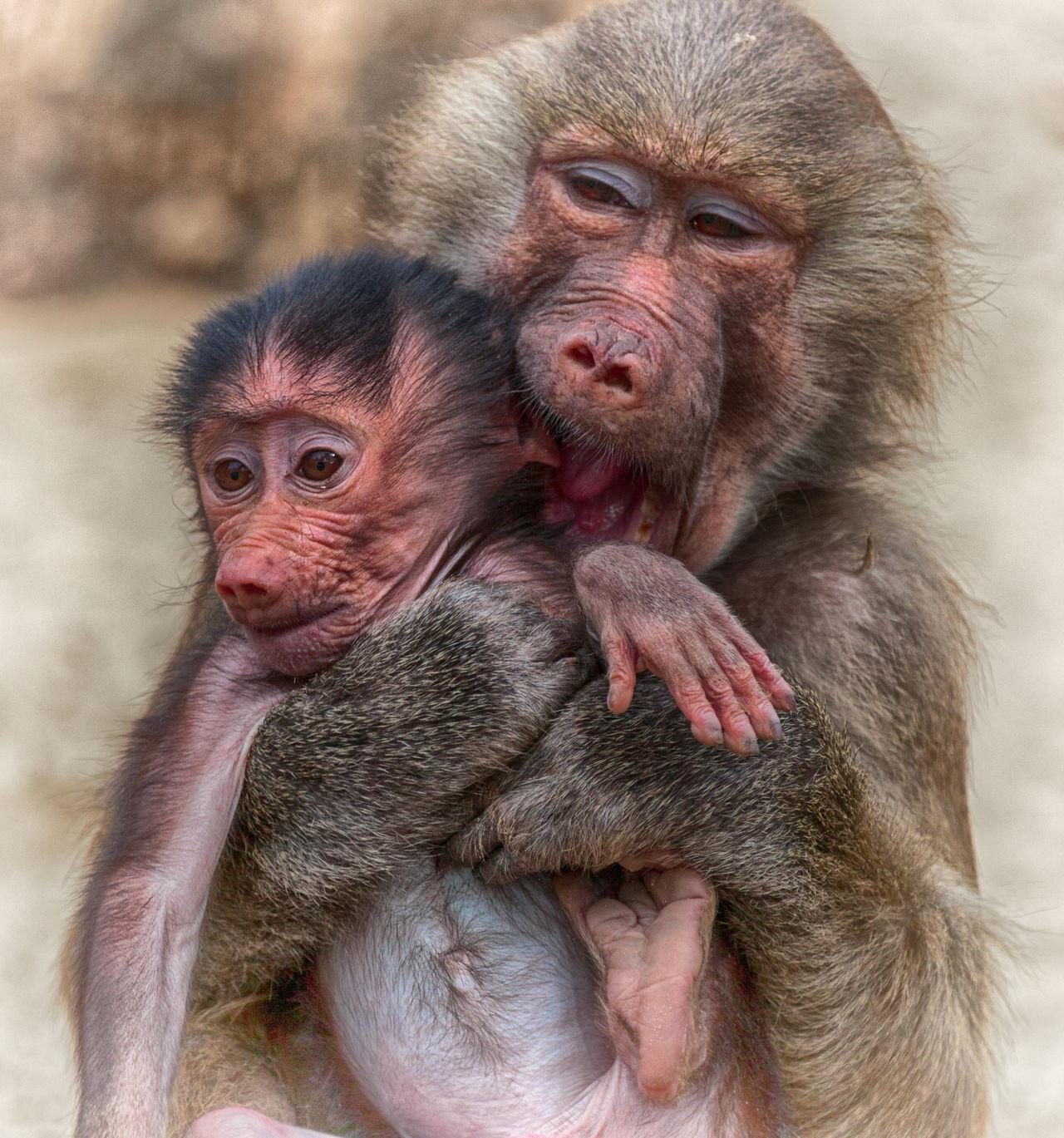 gestation period of animals pdf