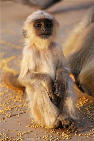 Baby Gray Langur Sitting