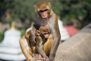 Monkeys In Pashupatinath Kathmandu Nepal