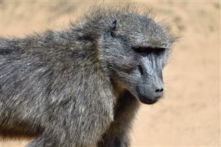 Baboon Portrait Namibia
