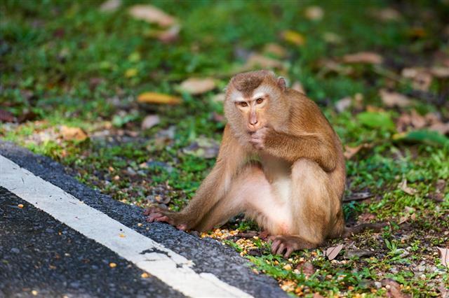 Macaca Monkey