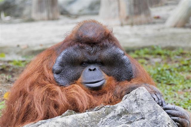Big Male Orangutan Orange Monkey