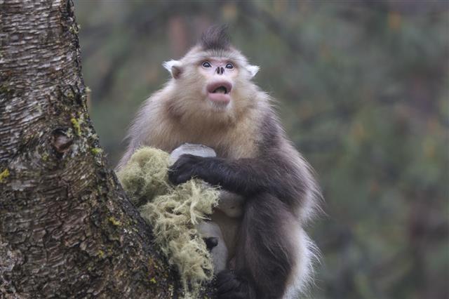Yunnan Black Snub Nosed Monkey