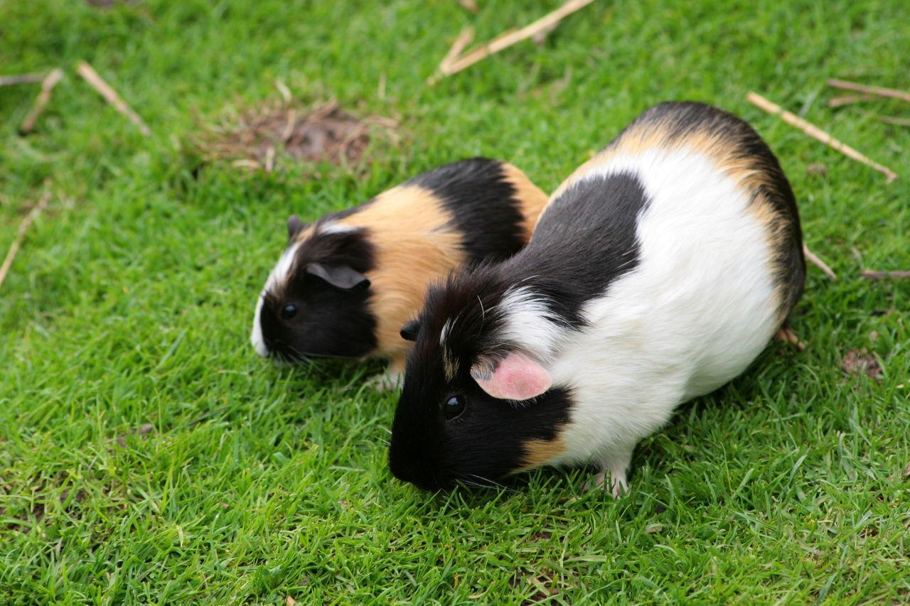 Pregnant Guinea Pigs