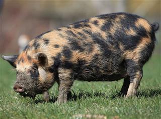 New Zealand Pig