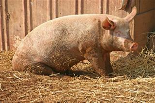 Pig Taking Sun Bath