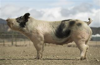 Full Size Pig