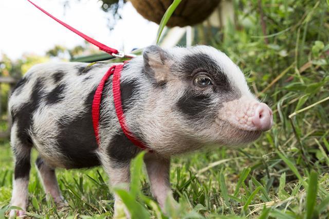 Tiny Pet Pig