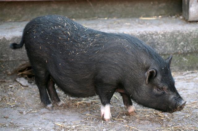 Black Baby Pig