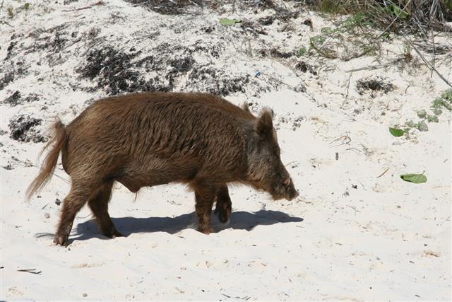 Bahamian Bush Pig