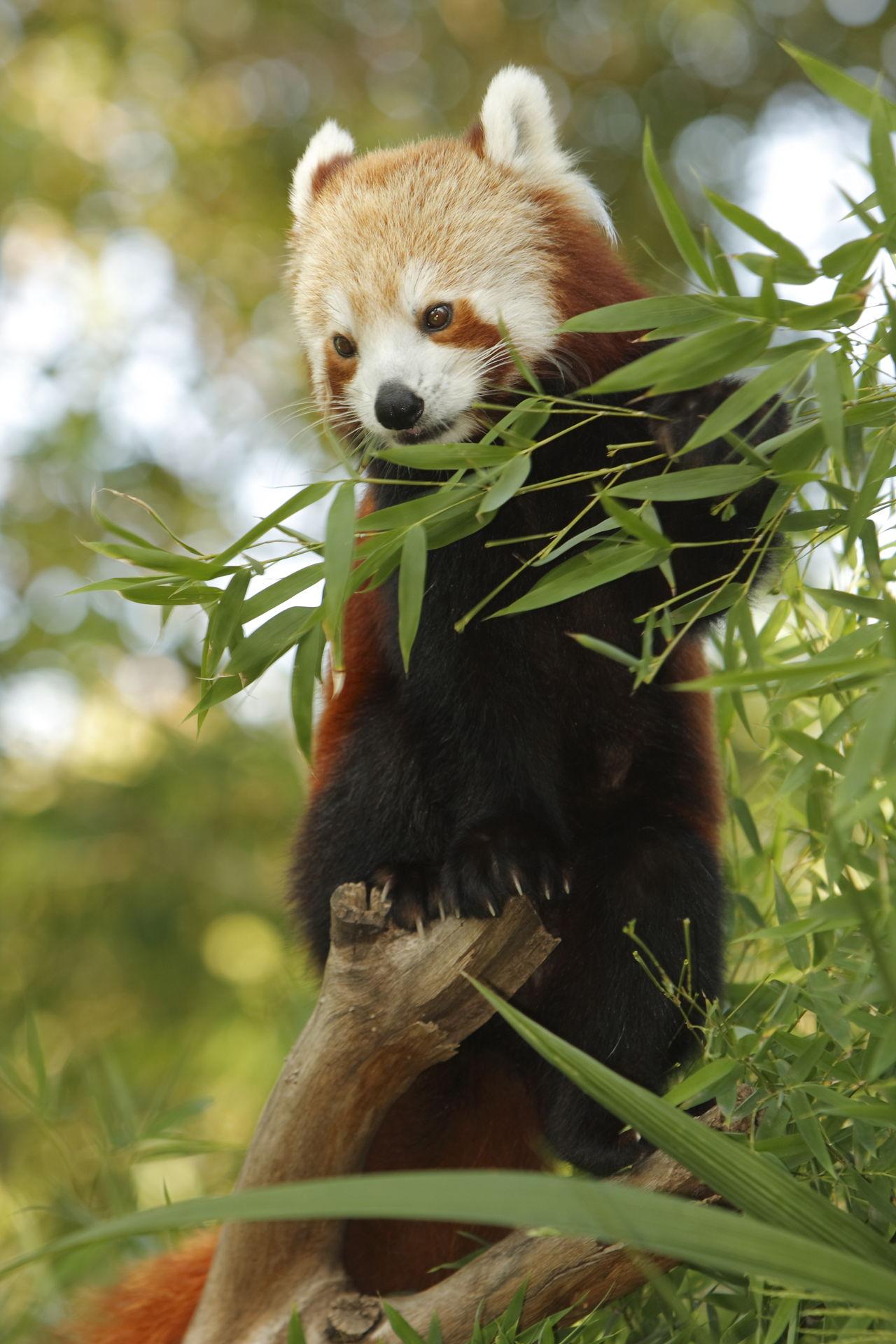panda adaptations pandas bamboo nepalese animals