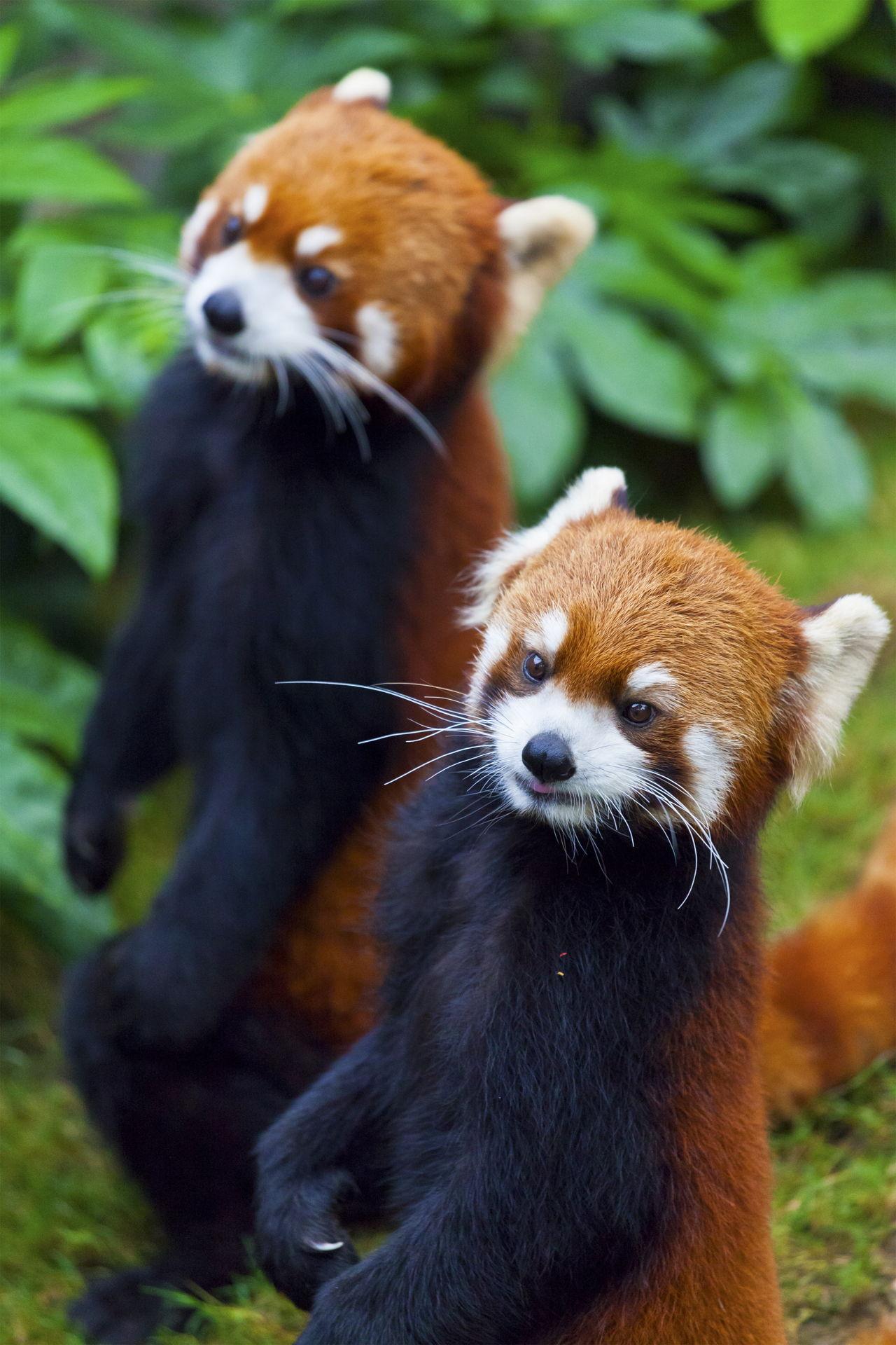 panda species endangered pandas animals wildlife bear animal facts china tourism wild bears fur tail hunting reddish royalty jaw drop