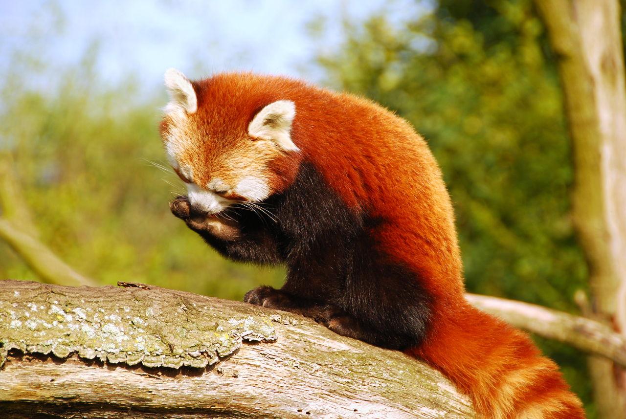 Red Panda As A Pet