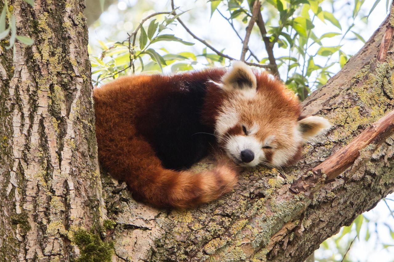 Red Panda As A Pet Pet Ponder