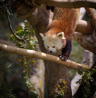Red Panda Climbing A Tree