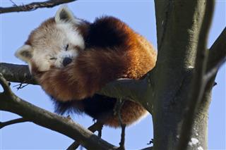 Red Panda Southern China