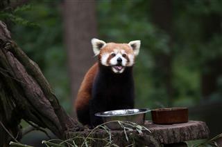 Western Red Panda