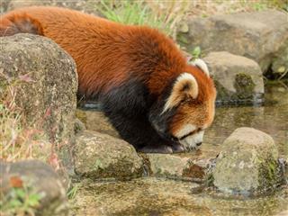 Lesser Panda Drinking Water