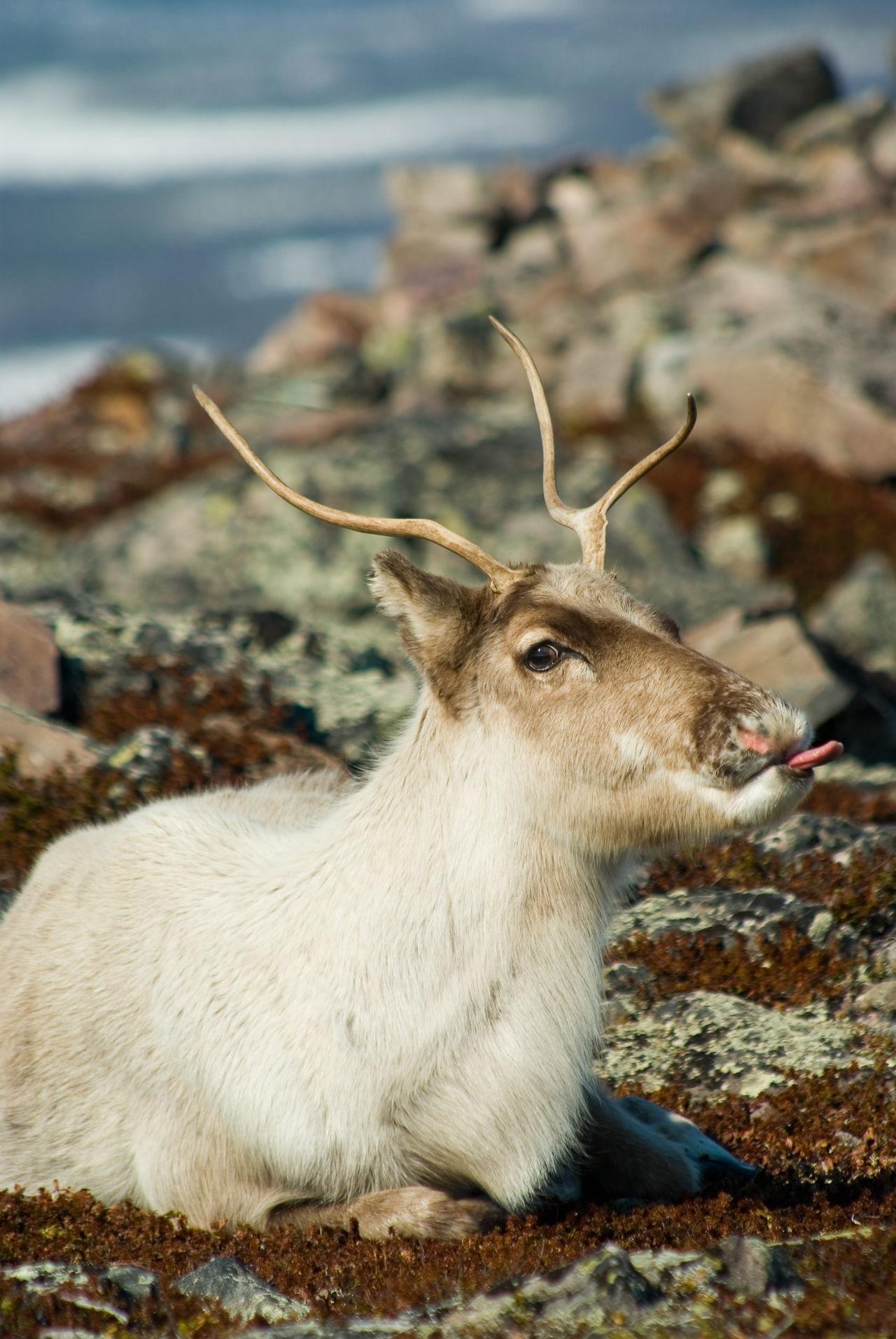 tundra animals - HD1280×1912