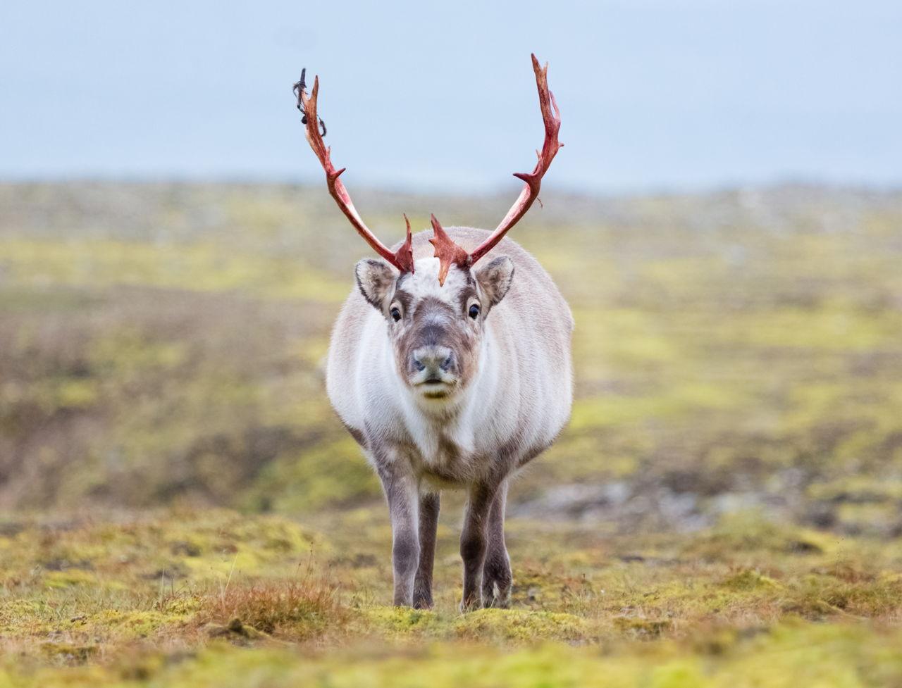 tundra animals - HD1280×977