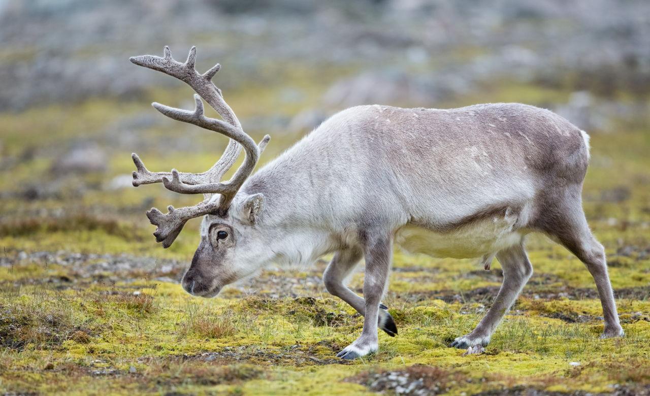 tundra animals - HD1280×780