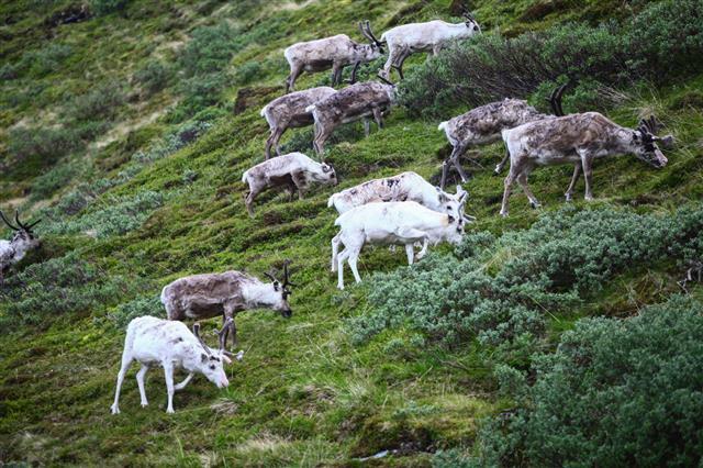 Herd Of Reindeer