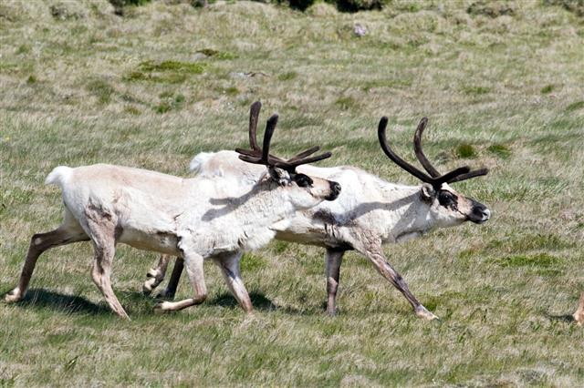 Two Running Reindeer