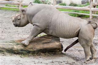 Dreaming Rhino
