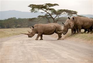 Rhinos Crossing Road