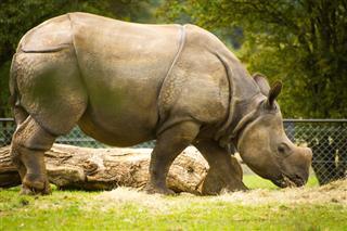 Nepal Rhinoceros
