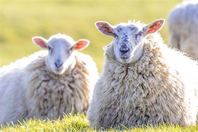 Sheep Lying Down