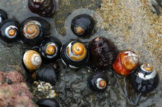 Black Turban Snails