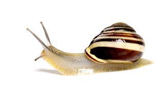 Shiny Snail