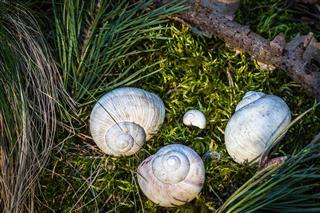 Burgundy Snail Shells