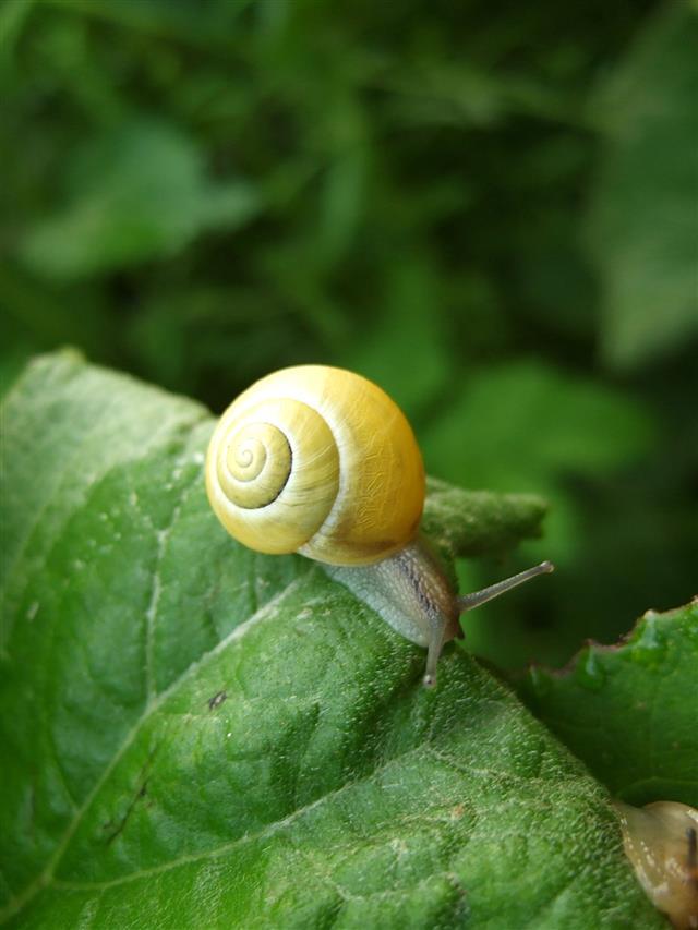 Yellow Snail Crawling
