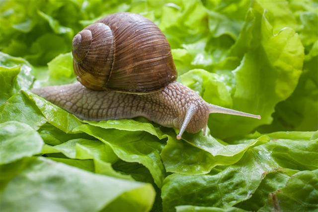 Helix Pomatia Burgundy Snail
