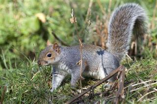 Grey Squirrel In England