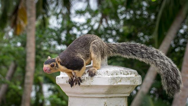 Ratufa Giant Ceylon Squirrel