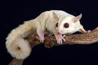 Sugar Glider Albino