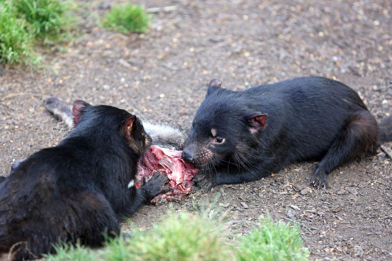 Tasmanian Devil Characteristics And Habitat