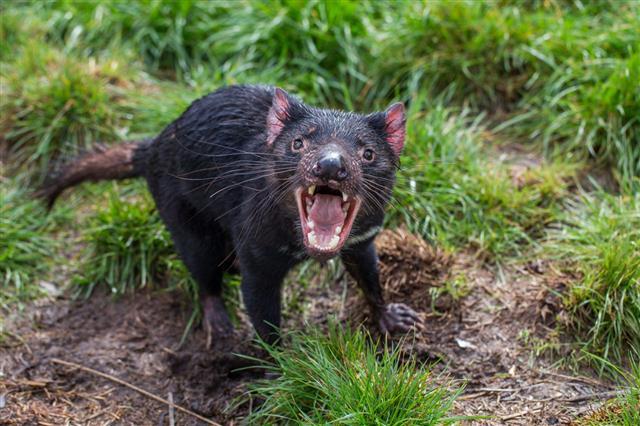 Aggressive Tasmanian Devil
