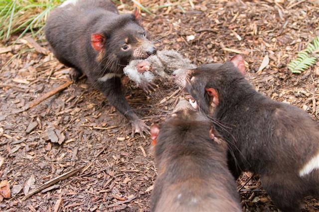 Three Tasmanian Devils Feeding