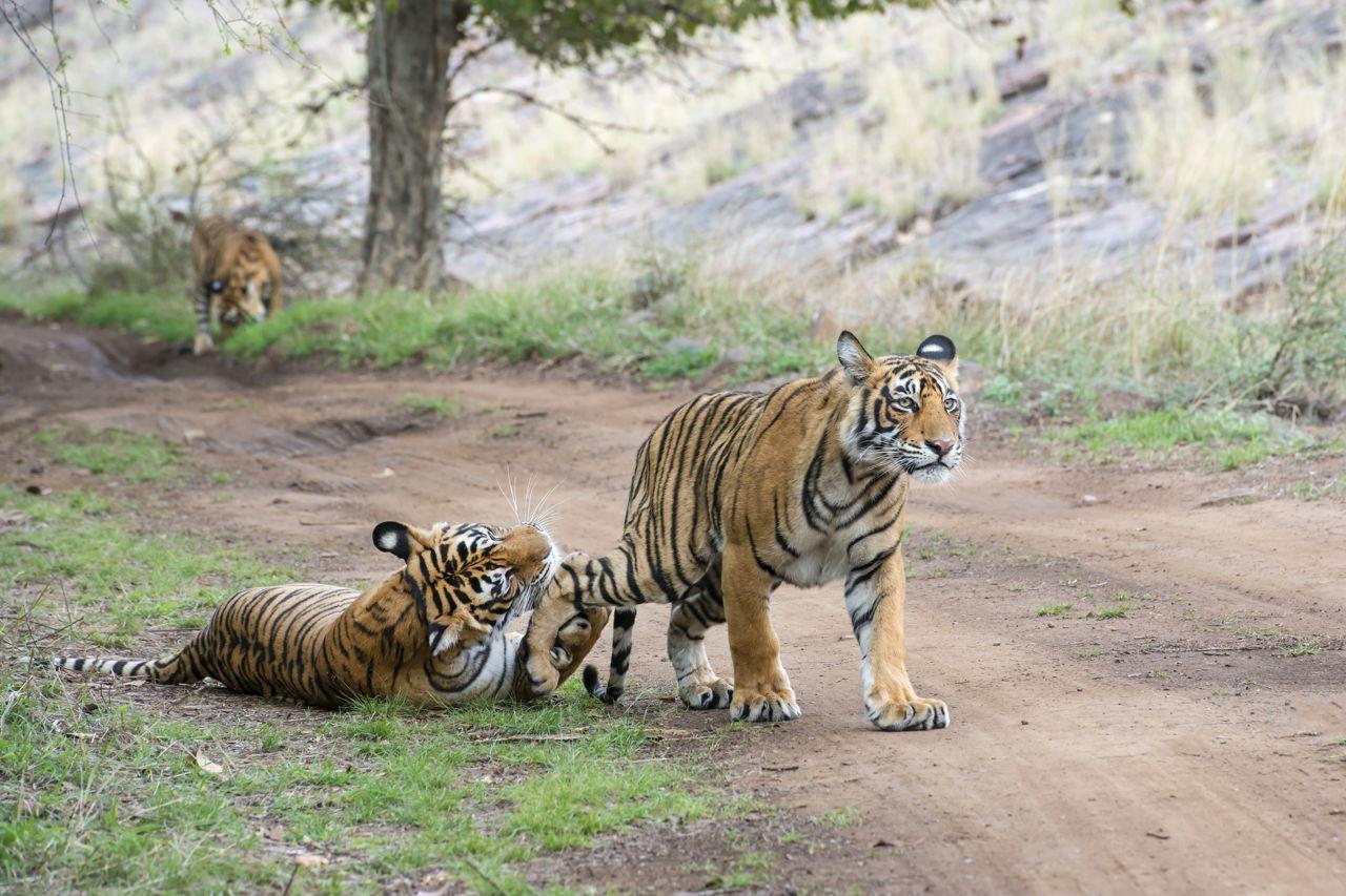 amazing facts about bengal tigers onekindplanet animal - HD1280×853