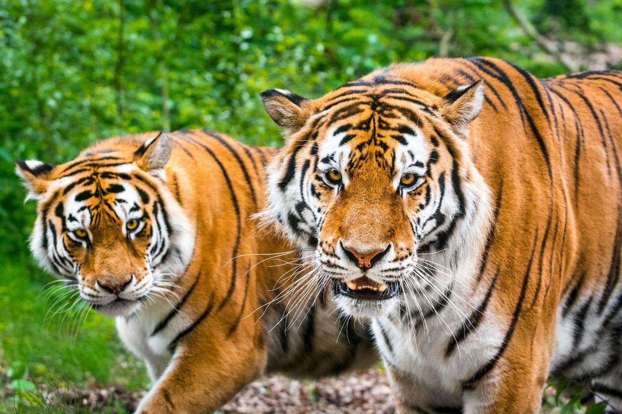 Save Tigers from Extinction - Animal Sake